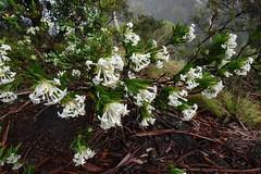 Pimelea linifolia subsp. linoides
