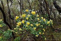Pomaderris andromedifolia (habit)