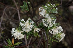 Pimelea flowers filled with rainwater