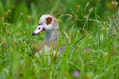 Egyptian goose in the grass