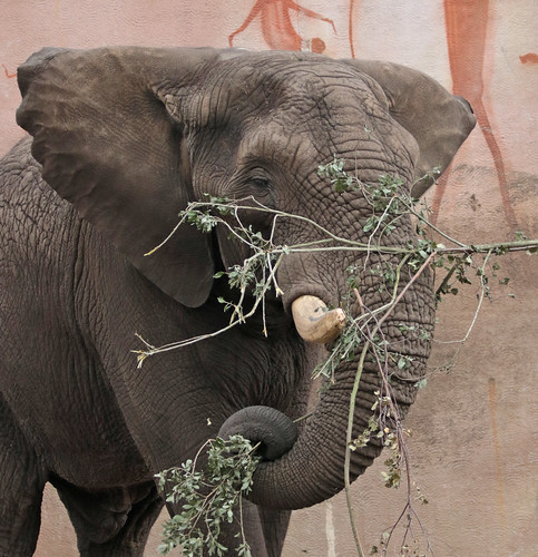 african elephant Tusker Ouwehand BB2A0344 (7)