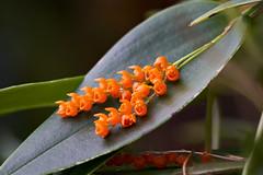 A cascade of orange blooms (Pleurothallis truncata) (2)