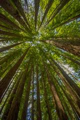 Redwoods 8