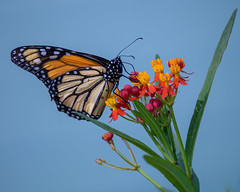 Monarch on a milkweed