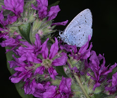 Holly blue in Le Bec-Hellouin