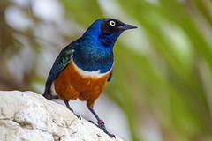 Perched superb starling