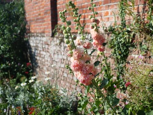 Un été à la campagne : Rose trémière 'Chater'