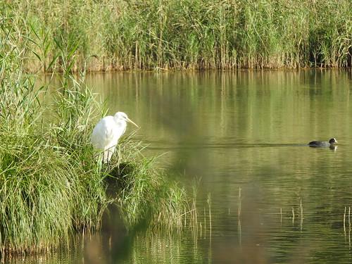 great egret & Eurasian coot/ grande aigrette & foulque macroule