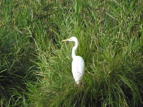 great egret / grande aigrette