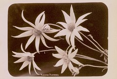 Flannel Flowers, Australia, Collection 1: Star Photo Co.