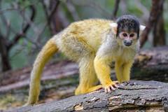Squirrel monkey posing