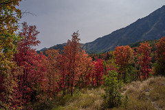 Fall foliage – from the Utah mountains