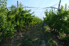 Apple orchard @ Villard @ Contamine-Sarzin