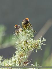 Fire-fronted Serin (Serinus pusillus)