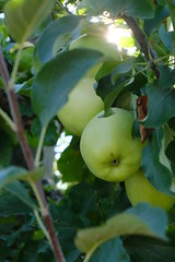 Apples @ Apple orchard @ Villard @ Contamine-Sarzin