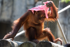 Orangutan With Pink Hat