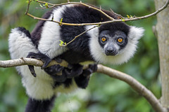 Black and white ruffed lemur posing on the tree II
