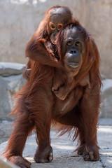 Orangutan Piggyback