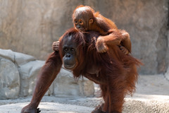 Orangutan Carrying Baby