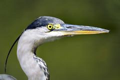 Profile of a heron