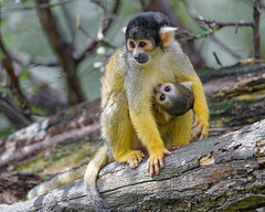 Squirrel monkey mom with baby