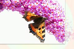 Butterflies bush in the garden
