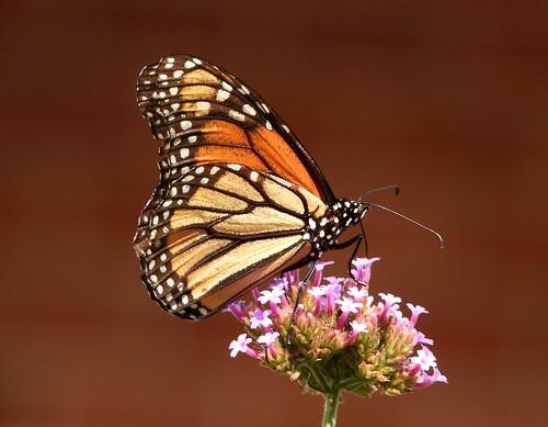 2338ex  Majestic Monarch