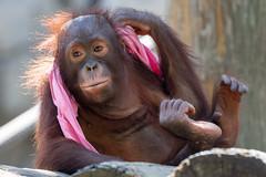 Lounging Orangutan