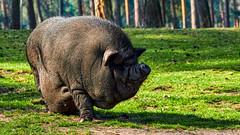 so ein Schwein ..