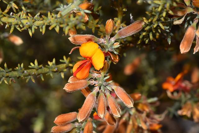 Photo:Jacksonia hakeoides By jeans_Photos