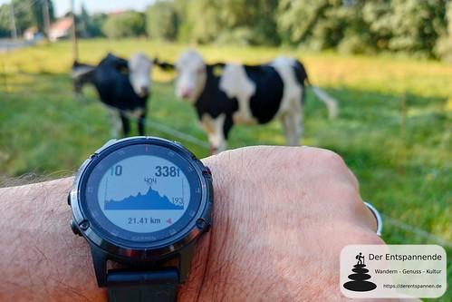 Kühe in Sohland am Rotstein - nächste Etappe nach Kodersdorf