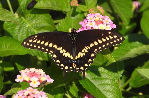 2728e  Black Swallowtail