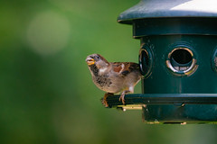 Sparrow Gobbling Seed
