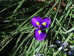 Adelaide. Springfield.  Iris bulb flowering in spring September in the gardens of Carrick Hill mansion. Almost purple in colour..