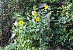 Sunflowers in the breeze