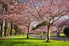 Cherry Blossoms in the Esplanade survive blustery winds!
