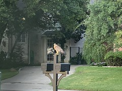 Red-shouldered hawk on my mailbox. September 2020