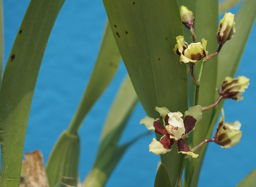 Oncidium Orchids (a rich cocoa scent) at home.