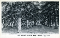[CALIFORNIA-J-0008] Coachella Valley date orchard