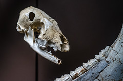Crâne de renard polaire