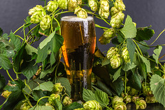 A glass of light beer among the branches of hops with cones and leaves