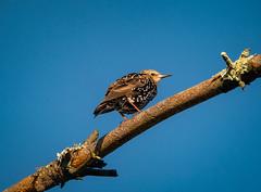 Adolescent(?) Starling