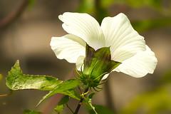 White Rose Mallow