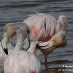 Flamencos. Lagunas de La Guardia (Toledo) 20-9-2020