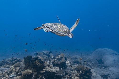 Green sea turtle-Tortue verte (Chelonia mydas)