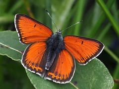 Lilagold-Feuerfalter (Lycaena hippothoe) ♂, Lichtenbach bei Rocherath, Ostbelgien