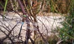 Dragonfly en el Manzanares
