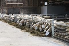 Sheep and cheesefarm Wezenspyk, Den Hoorn, Island Texel