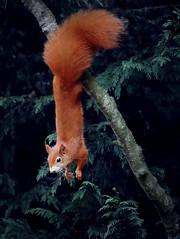 Red Squirrel Gymnastics