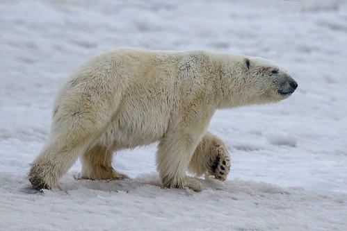 Polar Bear-Barrow, AK-17222printed1